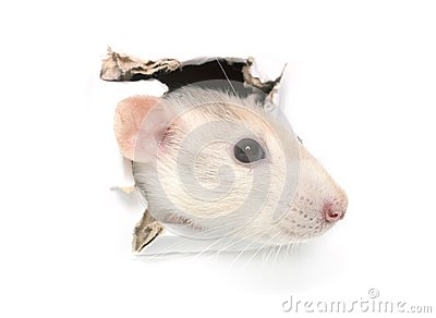 Rat in hole