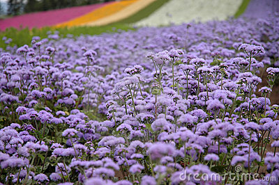 The violet field