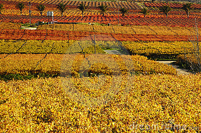 Fall Vineyards16