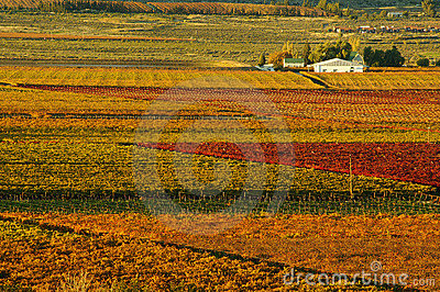 Fall Vineyards20