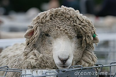 Shaggy sheep in the pens