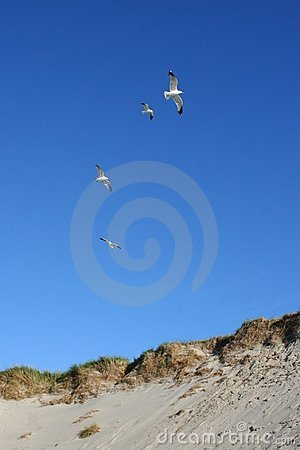Gulls flying over a sandhill
