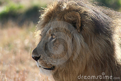 Male Lion side view