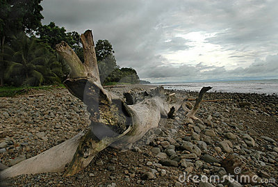 Drift Wood on Rocky Beach