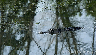 Crocodile Swimming In Pond