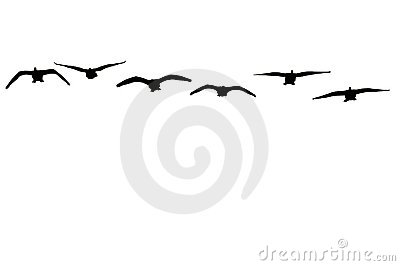 Canadian geese isolated on white background