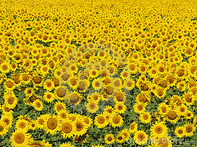 Blissful field of sunflowers #4