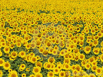 Blissful field of sunflowers #3