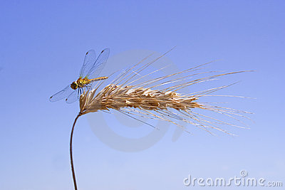 Dragon-fly on the ear of corn