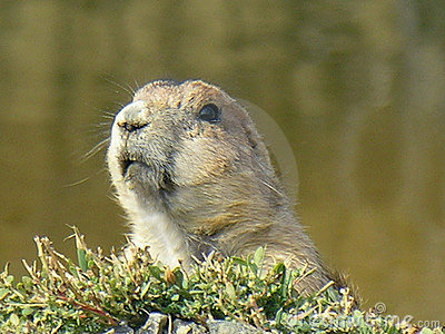 Portrait of Prairie dog