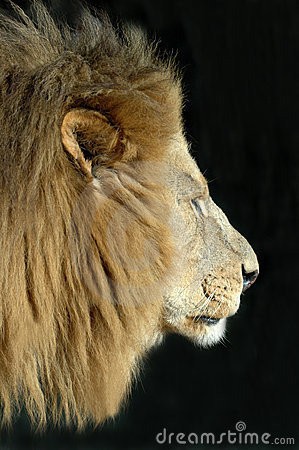 Male Lion Isolated on Black.