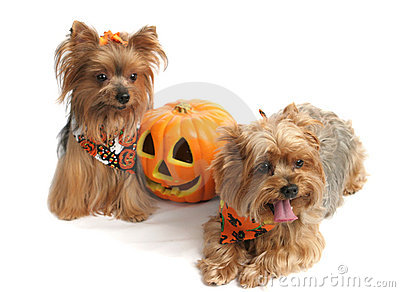 Halloween Yorkshire Terriers