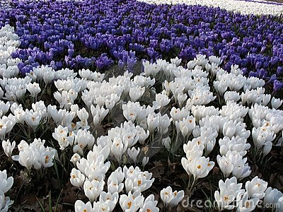 Spring sea of flowers - crocuses