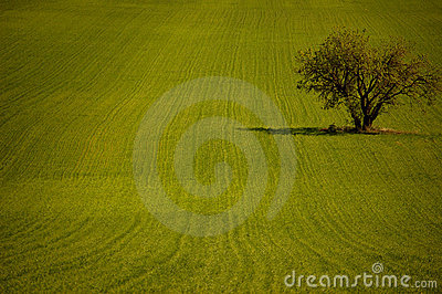 Olive tree in the field