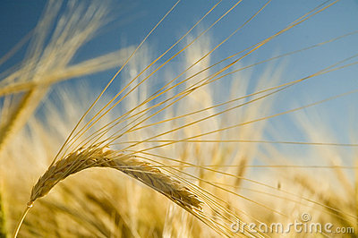 Ripe golden wheat 3