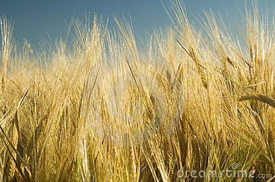 Ripe golden wheat 4