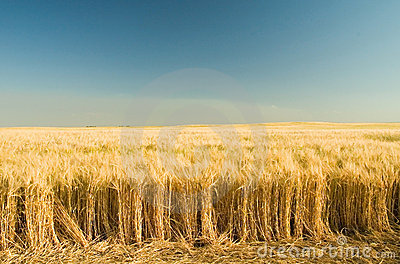 Ripe golden wheat 7