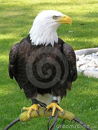 Bald Eagle Tethered