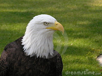 Bald Eagle Looking Right
