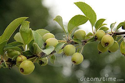 Small Crab Apples