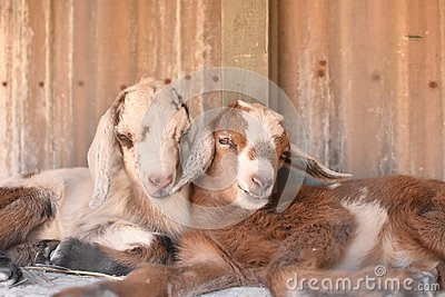 Two baby goats cuddle.