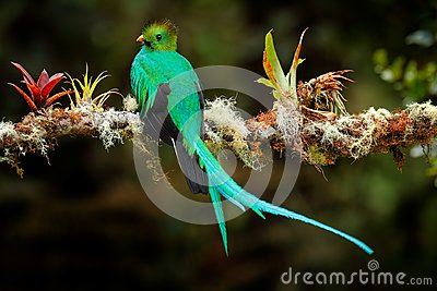 Resplendent Quetzal, Pharomachrus mocinno, from Savegre in Costa Rica with blurred green forest foreground and background. Magnifi