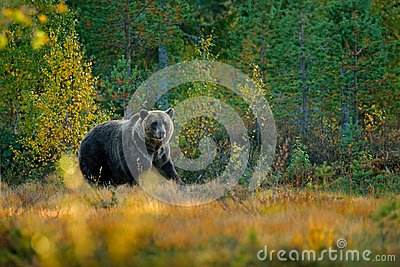 Bear hidden in yellow forest. Autumn trees with bear. Beautiful brown bear walking around lake with fall colours. Dangerous animal