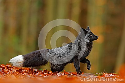 Black silver fox, rare form. Dark red fox playing in autumn forest. Animal jump in fall wood. Wildlife scene from wild nature. Fun