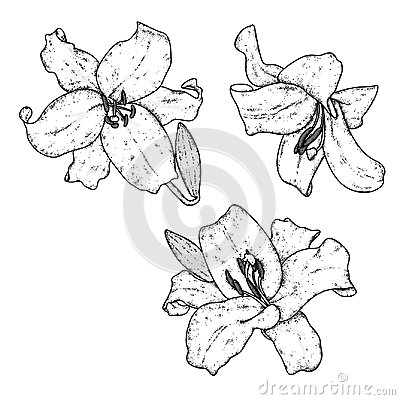 Beautiful lilies. Vector illustration. Delicate flowers. Vintage print on postcard, poster or clothes.
