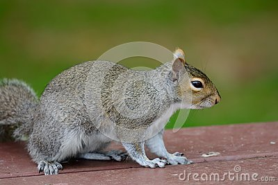 Grey squirrel on a picnic table