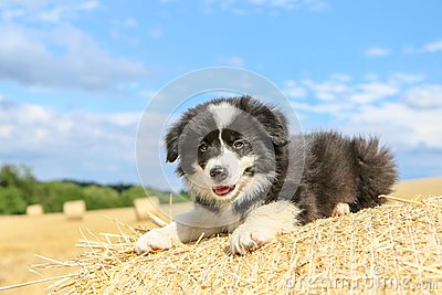 Cute puppy is lying on the hay bale