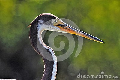 Great Blue Heron with green backgound
