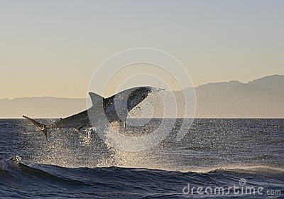 Cape Town, sharks, exhilarating jumping out of water, looks great, everyone has to see this scene once in your life