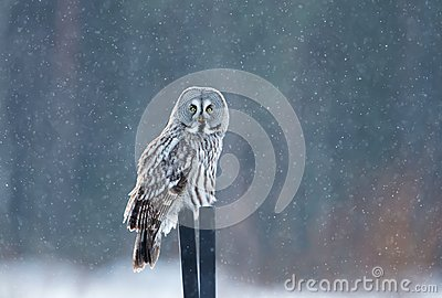 Great grey owl sitting on the post in the falling snow