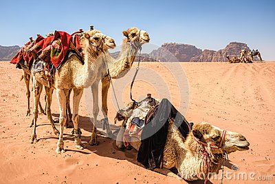 Camels in desert landscape under blue skies