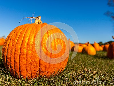 Close up of a big pumpkin in a field with blurred pumpkins in the background/pumpkin patch