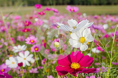 The Cosmos bipinnatus beautiful bloom when get winter coming, as the background.