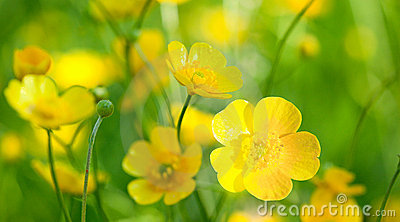 Buttercup flowers
