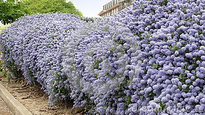 Ceanothus shrubs forming a complete hedge