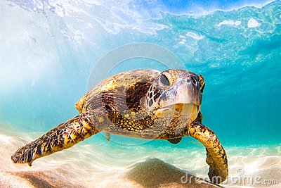 Hawaiian Green Sea Turtle cruising in the warm waters of the Pacific Ocean