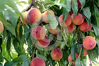 Peaches hang ripe on the tree