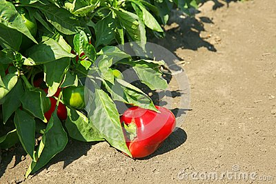 Fresh peppers ready for harvest