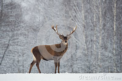 Great adult noble red deer with big beautiful horns on snowy field on forest background. Cervus Elaphus. Deer Stag Close-Up