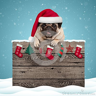 Cute pug puppy dog wearing santa hat hanging with paws on weathered wooden sign with Christmas decoration