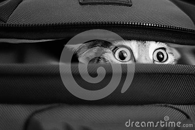 Adorable cat peeking out of bag. bw