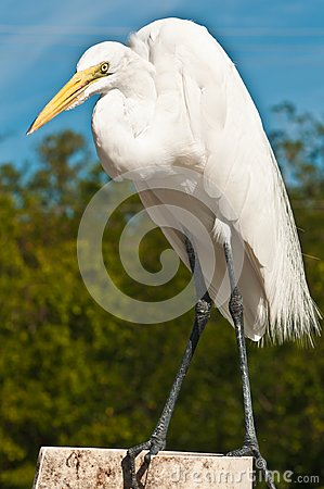 Great Egret poised to catch fish scraps at a tropical marina in the Gulf of Mexico