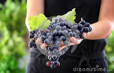 Woman holding bunch of ripe grapes outdoors