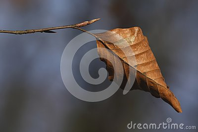 The last leaf of a Beech tree