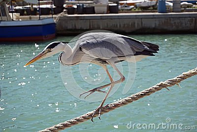 Italy, Tuscany, Maremma, Castiglione della Pescaia, a gray heron walks along the canal of the port, among tourists