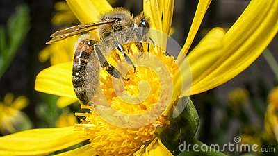 Worker bee working on pollination